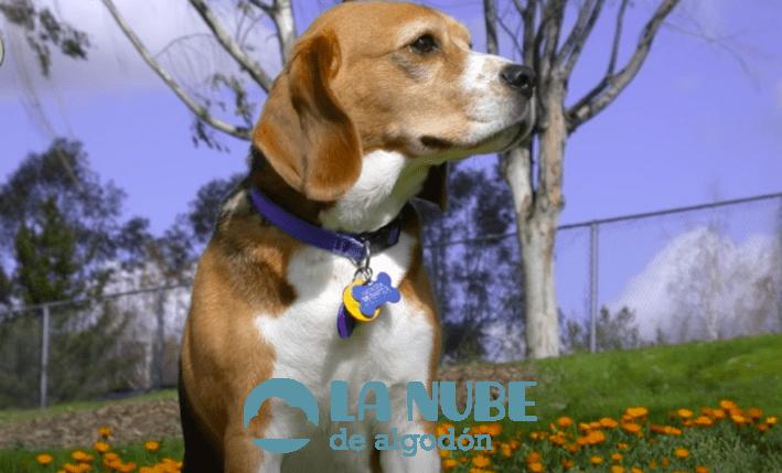 Beagle Harrier: Carácter y Comportamiento