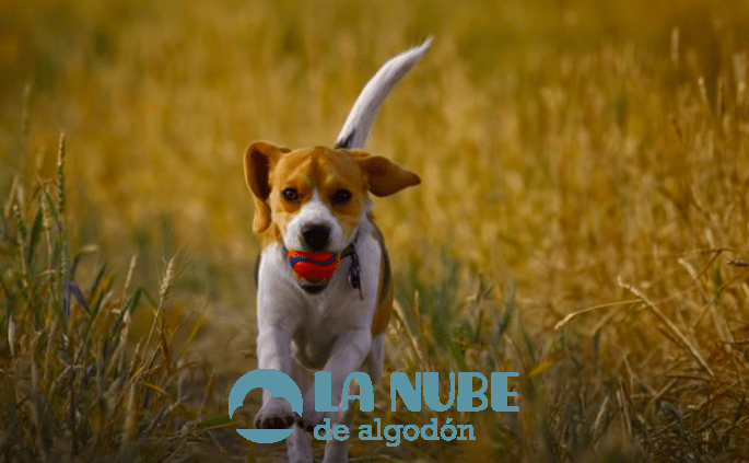 beagle harrier 1