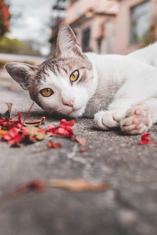 gato orejas1