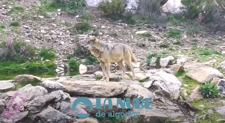 Lobo (Canis lupus): Información y características