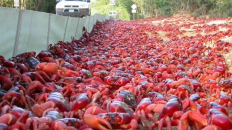 Los cangrejos mutantes invaden Belgica