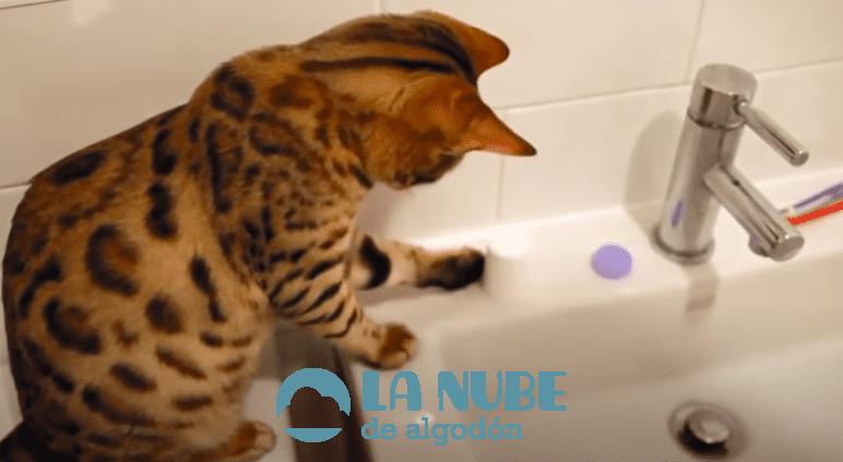 gato bano