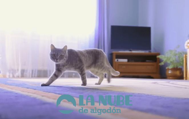 gato sigue