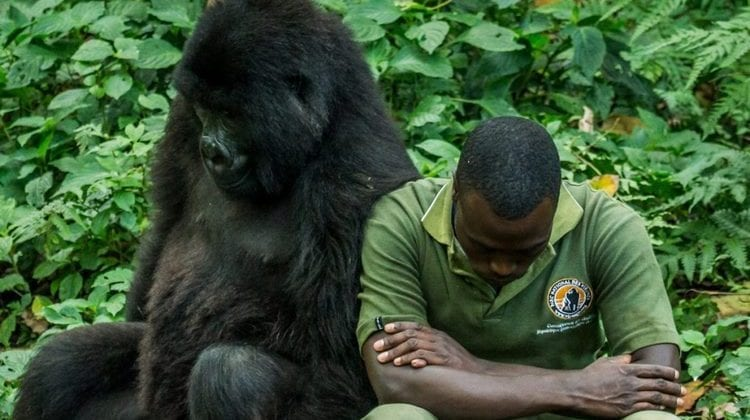 Asesinan a guardias forestales que defendian los gorilas de Virunga