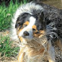 caspa perro