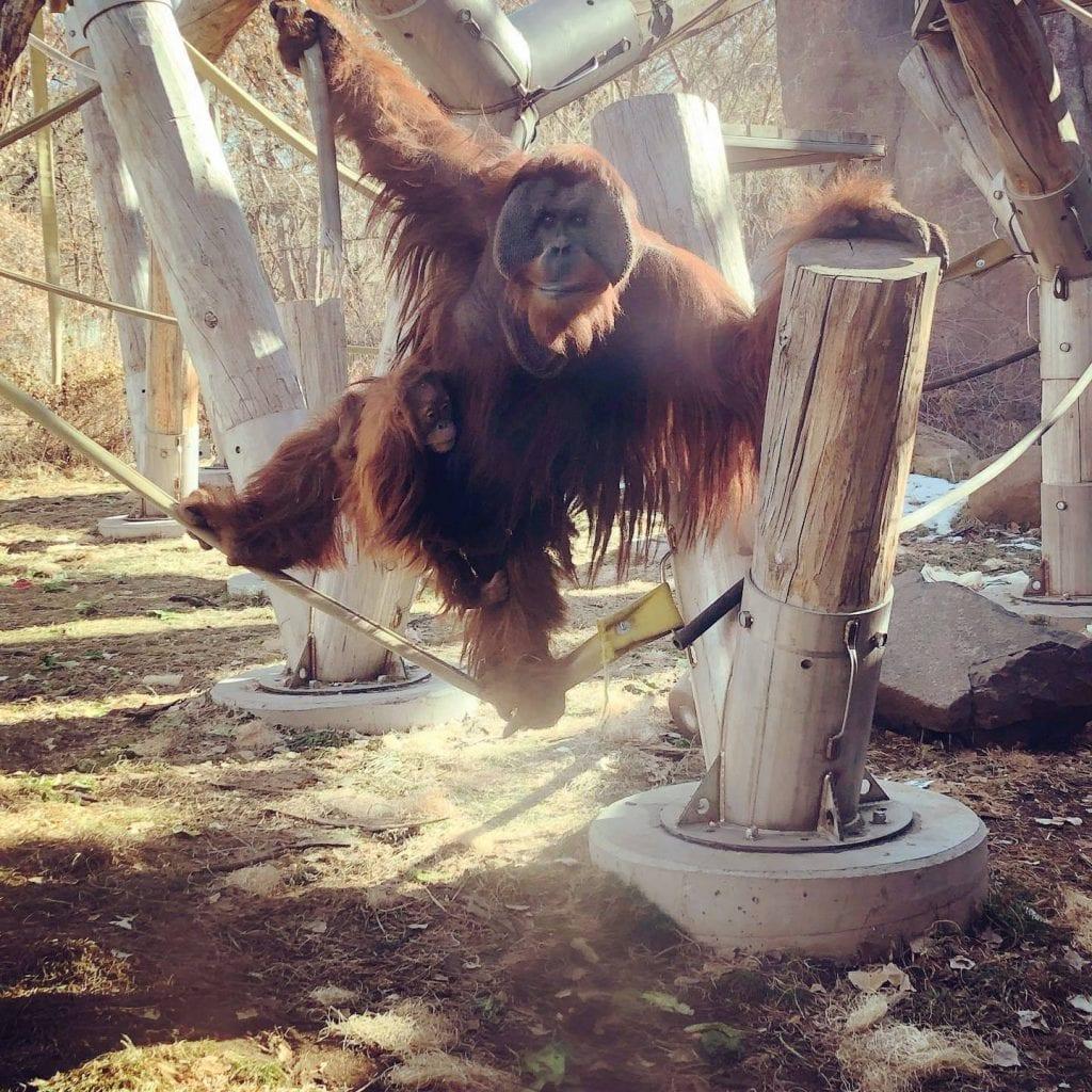 Muere la madre de una cria de orangutan y su padre se encarga de ella b