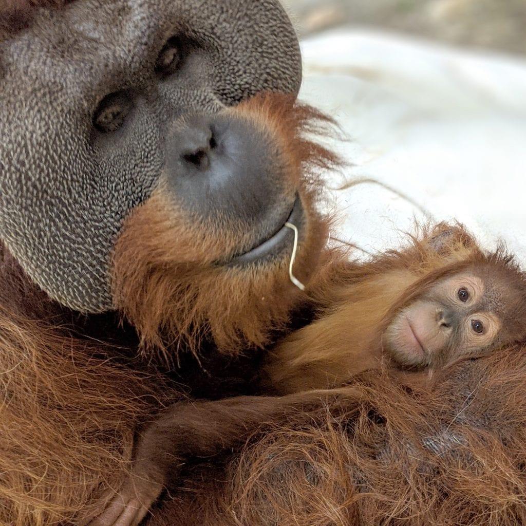 Muere la madre de una cria de orangutan y su padre se encarga de ella scaled