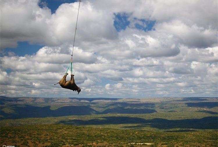 Transportan un rinoceronte colgado de las patas en un helicoptero